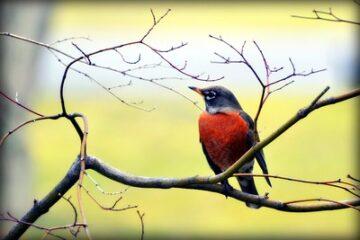 robin sitting on a tree branch